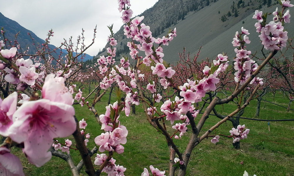 Blossoms in organic orchard in Keremeos BC