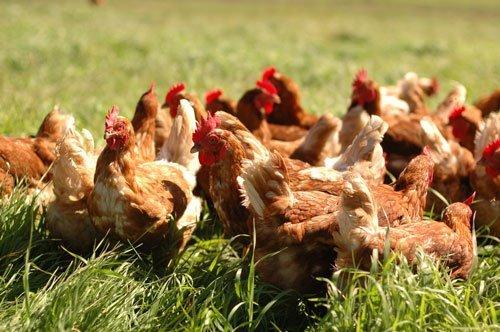 Chickens at Sunworks Farm in Alberta