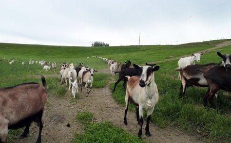 Fairwinds Farm - Goats in Field