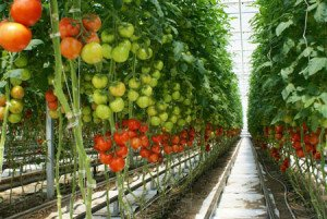 Mans organics, Alberta - organic tomatoes