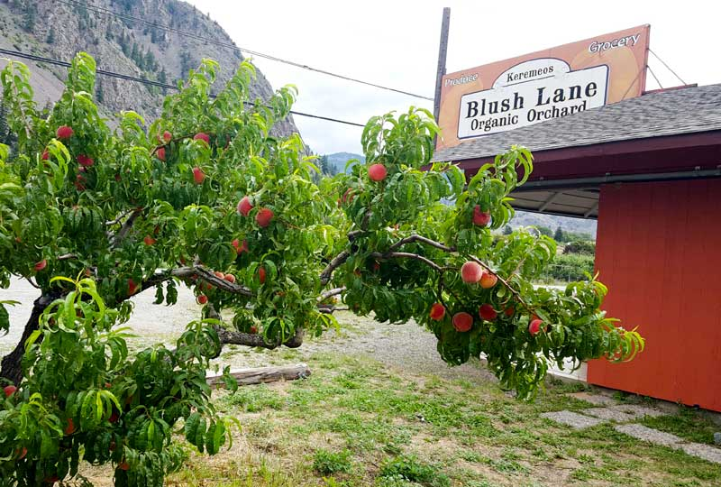 Harvest Update July 14, 2016 – Peaches, Apricots, Plums And Cherries