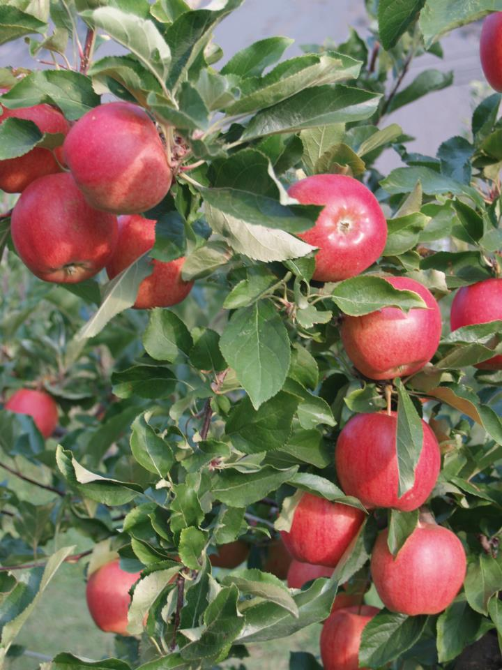 All About Autumn Apples