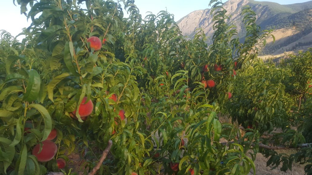 Early Red Haven Peaches