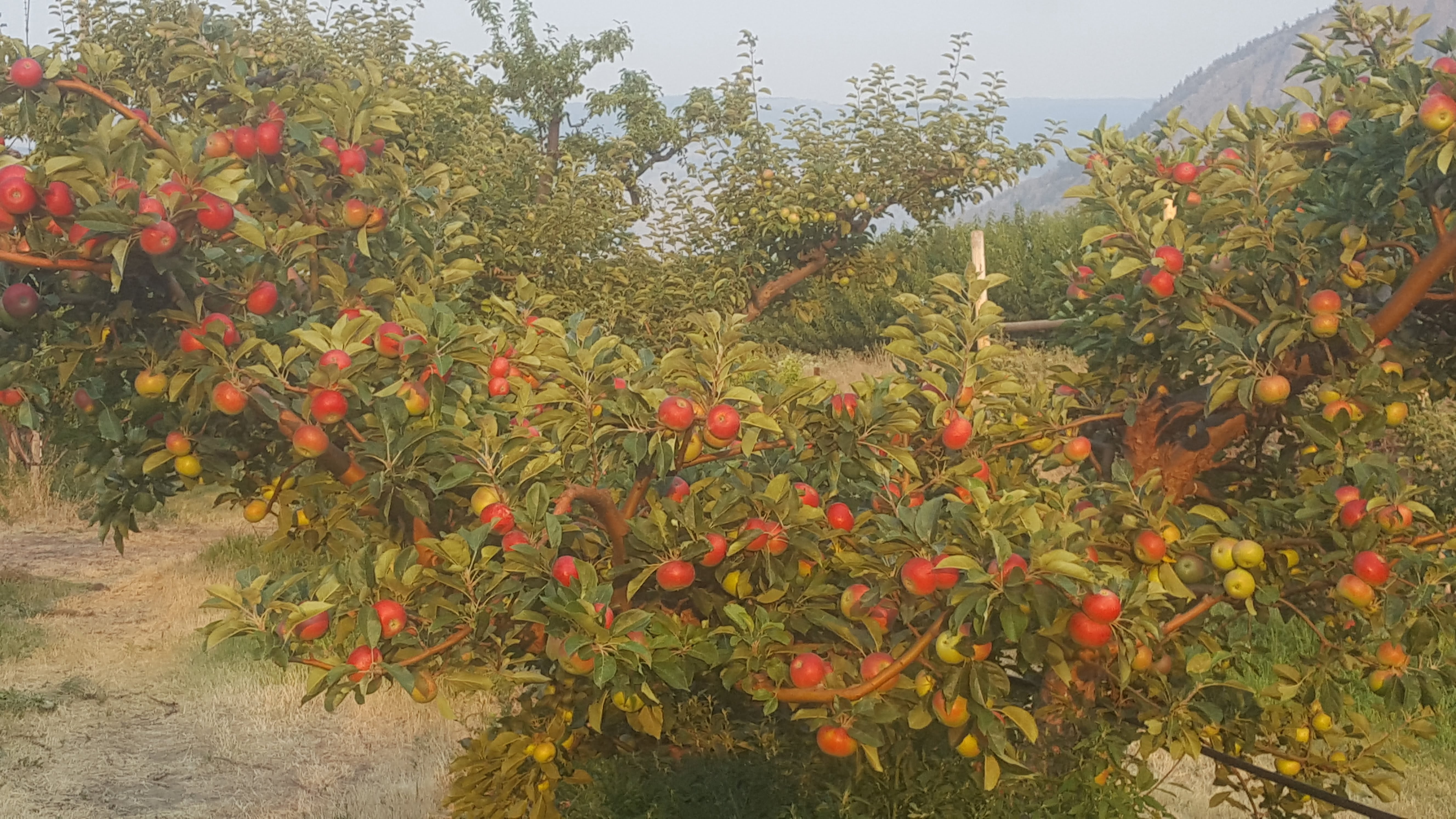 Orchard Harvest Update August 11, 2017