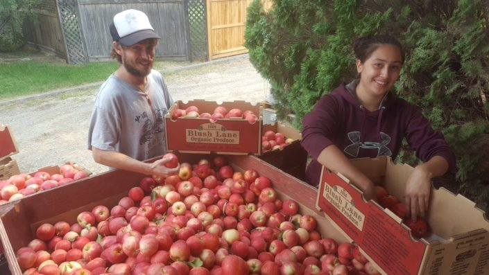 Gala, Mac & Honeycrisp Apple Harvest