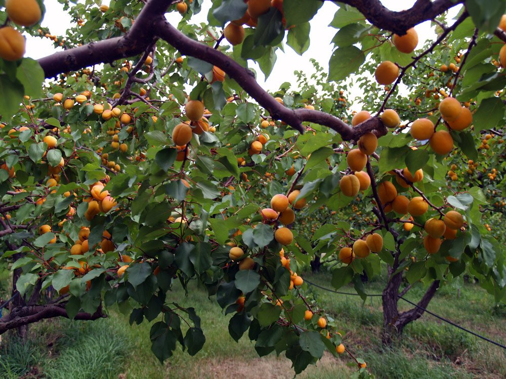 Apricot Grove In Organic BC Orchard In Keremeos