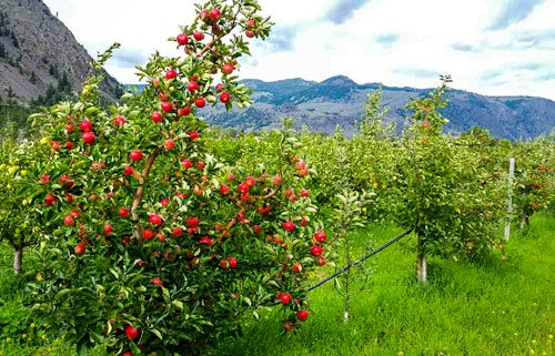 Organic Discovery Apples Blush Lane Organic Orchard