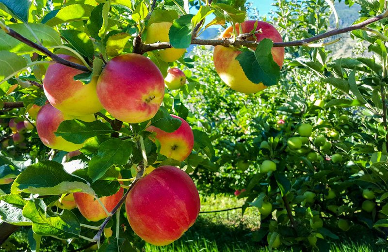 Organic Sunrise Apples From Blush Lane Organic Orchard